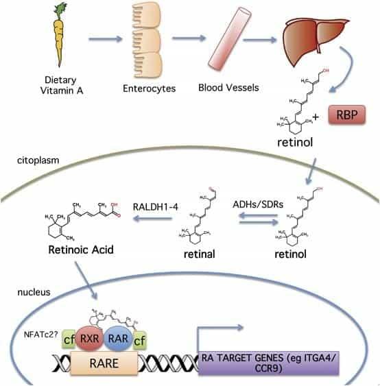 A vitamīna metabolisms